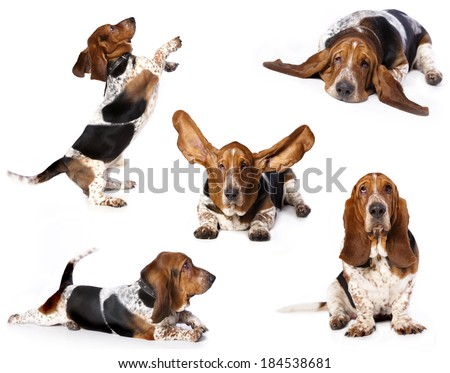 purebred basset hound, set of dogs - stock photo
