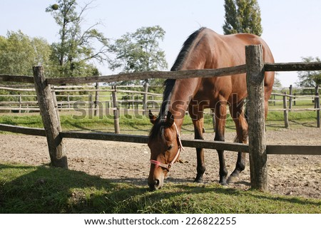 Purebred bay horse grazing in corral summertime - stock photo
