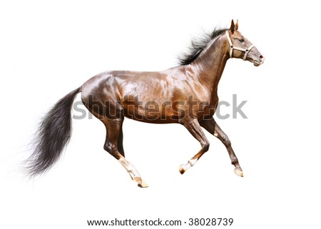 purebred bay stallion isolated