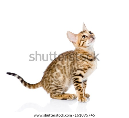 purebred Bengal cat looking up. isolated on white background - stock photo