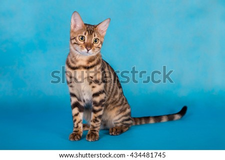 Purebred Bengal cat on a blue background - stock photo
