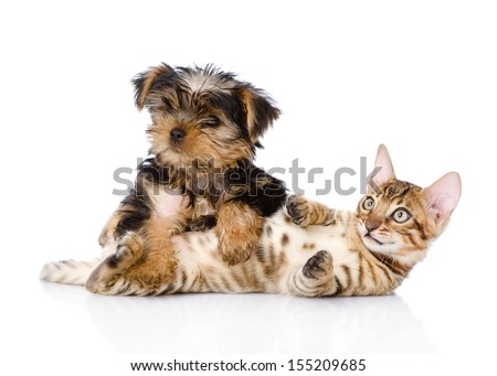 purebred bengal kitten and Yorkshire Terrier  puppy together. isolated on white background - stock photo