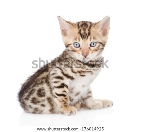 purebred bengal kitten looking at camera. isolated on white background - stock photo