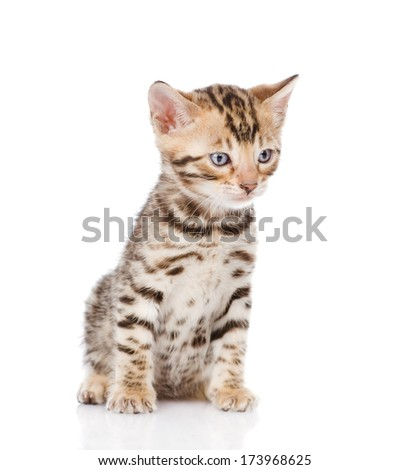 purebred bengal kitten sitting in front. isolated on white background