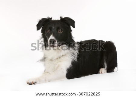 Purebred black and white Border Collie dog isolated on white background in studio.
