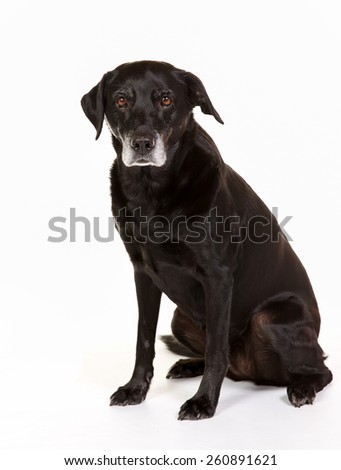 Purebred black labrador dog isolated on white background in studio. - stock photo