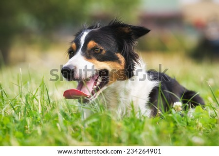 Purebred border collie outdoors on a summer day. - stock photo