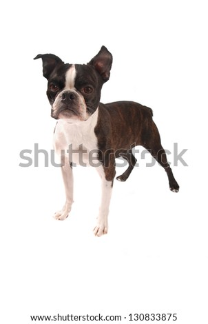 Purebred Boston Terrier on a White Background - stock photo