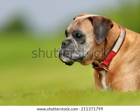 Purebred boxer dog photographed outdoors on a sunny day. - stock photo