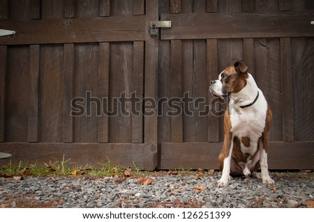 Purebred boxer sitting in front of a barn door on a farm - stock photo