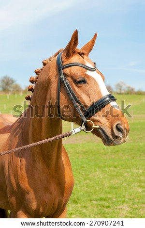 Purebred braided chestnut horse portrait. Multicolored summertime outdoors image. - stock photo
