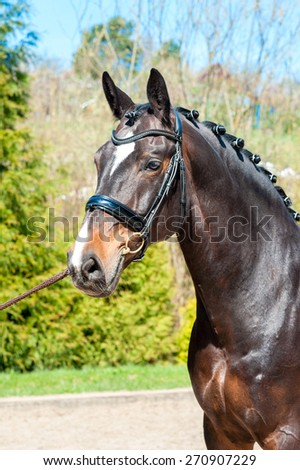 Purebred braided horse portrait. Multicolored summertime outdoors image. - stock photo