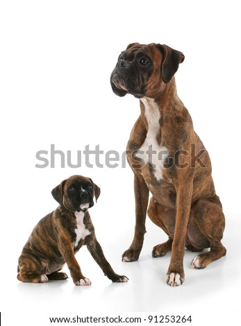 Purebred Brindle Boxer Adult and Puppy Dogs Facing Towards Eachother - stock photo