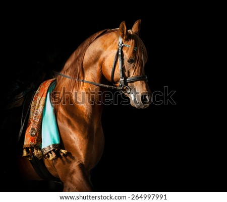 Purebred chestnut arabian stallion in equipment on a equestrian show performance over a black background - stock photo