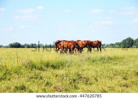 Purebred chestnut foals and mares eating green grass on the hungarian meadow puszta summertime rural scene  - stock photo