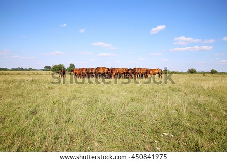 Purebred chestnut foals and mares eating green grass on the meadow summertime rural scene. Young chestnut foals and mares eating grass on meadow summertime outdoor rural scene   - stock photo