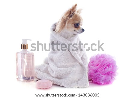purebred chihuahua after the bath in front of white background - stock photo