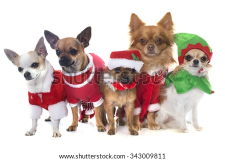 purebred chihuahua in front of white background - stock photo