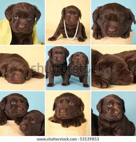 Purebred chocolate labrador retriever puppies, all from the same litter. - stock photo