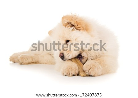 Purebred chow chow chewing bone - stock photo