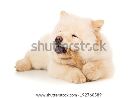 Purebred chow chow puppy with a bone - stock photo