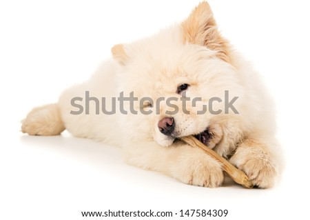 Purebred chow chow puppy with bone isolated - stock photo
