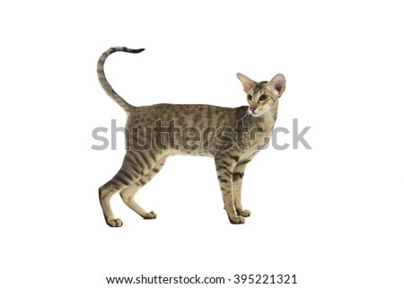 Purebred cute siamese cat studio shot, isolated on white background - stock photo