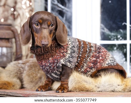 purebred dachshund dog - stock photo