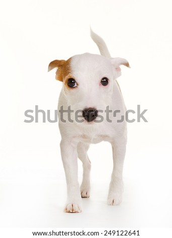 Purebred Danish Swedish farmdog isolated on white background in studio. - stock photo