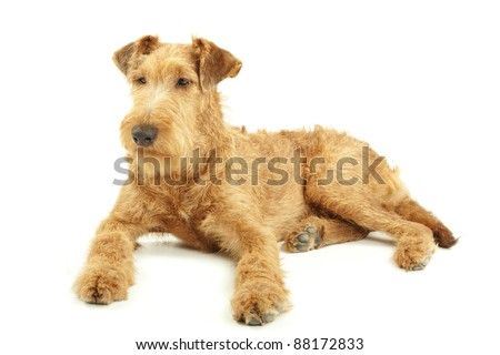 Purebred dog Irish Terrier lying on a white background