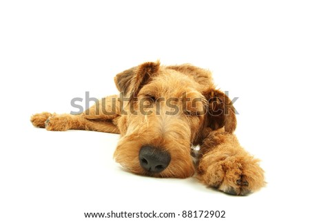 Purebred dog Irish Terrier sleeping on a white background - stock photo