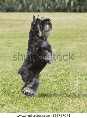 Purebred  dog Miniature schnauzer on green grass plays