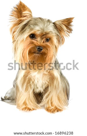 purebred dog (Yorkshire terrier) isolated on white - stock photo