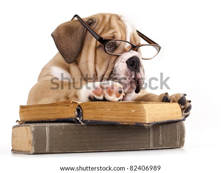 purebred english Bulldog in glasses and book - stock photo