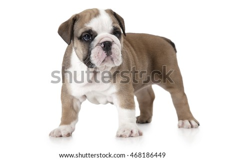 Purebred English Bulldog puppy standing in front of white background and looking forward