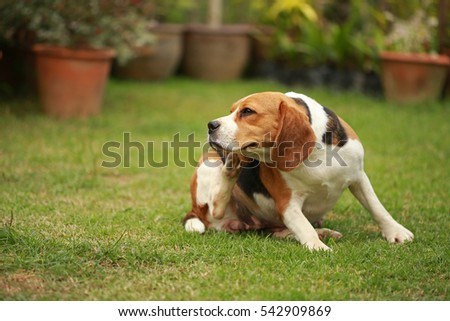 Purebred female Beagle dog lying down on lawn