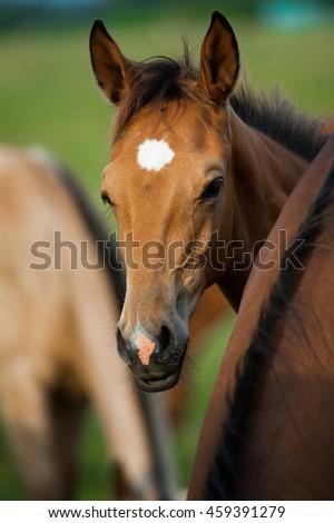purebred foal portrait in summer - stock photo