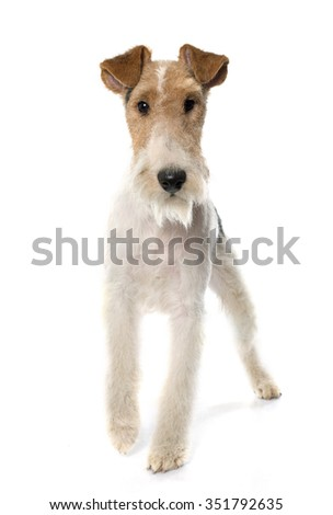 purebred fox terrier in front of white background - stock photo