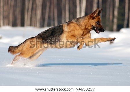 purebred german shepherd jumps and runs in the snow - stock photo