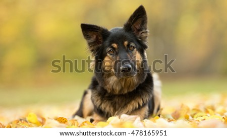 Purebred German Shepherd puppy outdoors in the forest on a cloudy day during autumn.