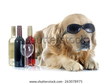 purebred golden retriever and bottle in front of a white background - stock photo