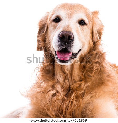 purebred golden retriever dog close-up   isolated on white - stock photo