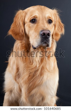 purebred golden retriever dog on black background - stock photo