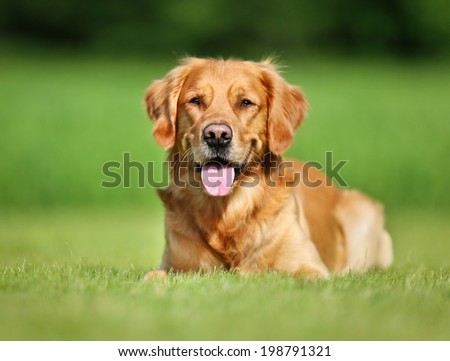 Purebred Golden Retriever dog outdoors on a sunny summer day. - stock photo