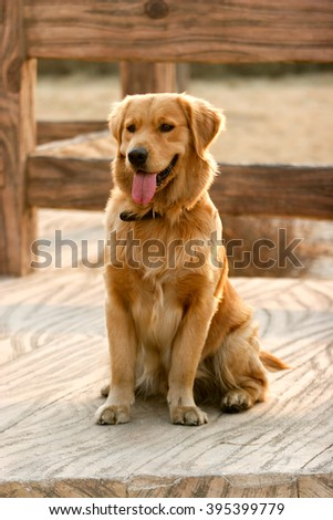 Purebred Golden Retriever dog portrait  in outdoors - stock photo