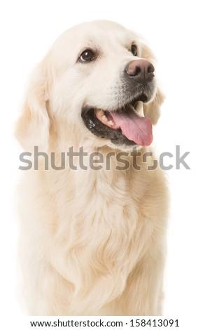 purebred golden retriever dog sitting on isolated white background - stock photo