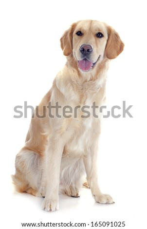 purebred golden retriever in front of a white background - stock photo