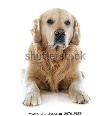 purebred golden retriever in front of a white background