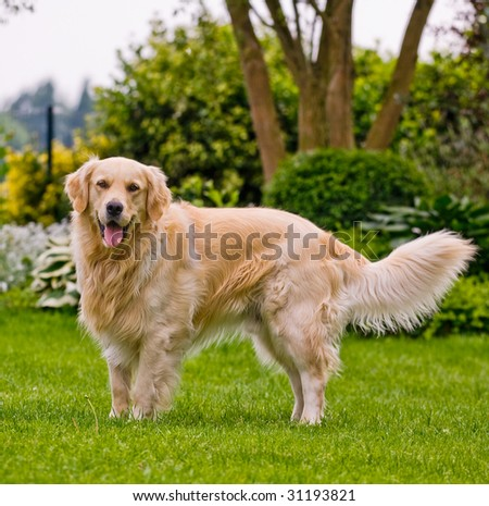 Purebred golden retriever playing in the yard. - stock photo