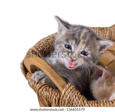 Purebred gray kitten meowing in the basket